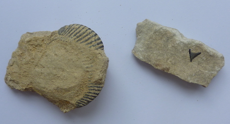 A fossil shark's tooth and a shell